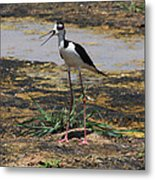 Look Out For That Egret- Mother Stilt Said Metal Print