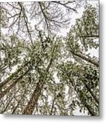 Looking Up At Snow Covered Tree Tops Metal Print
