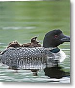 Loon Chick - Big Yawn Metal Print