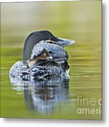Loon Chick- Feather Hat Metal Print