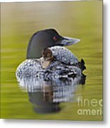 Loon Chick Resting On Parents Back Metal Print