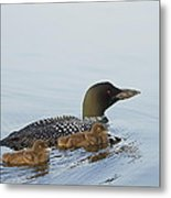 Loon Chicks Cruising With Mom Metal Print