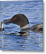 Loon Offers Fish To Chick Metal Print by Jim Block