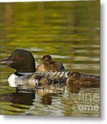 Loon Parent With Two Chicks Metal Print