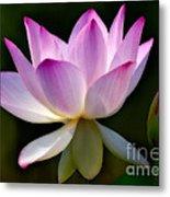 Lotus And Buds Metal Print by Susan Candelario