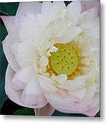 Lotus Blooming Metal Print
