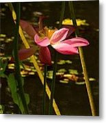 Lotus Flower At The West Lake Metal Print