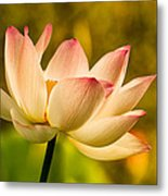 Lotus In Morning Light Metal Print