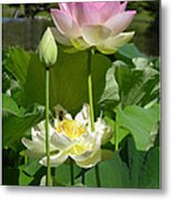 Lotuses in Bloom Metal Print