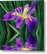 Louisiana Iris Metal Print