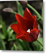 Love Tulip Time Metal Print