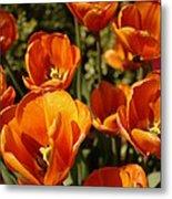 Lovely Burnt Orange Tulips Metal Print