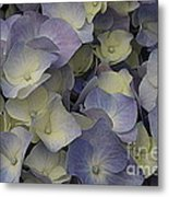 Lovely In Blue And White - Hydrangea Metal Print