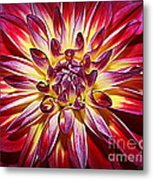 Lovely In Purple And Red - Dahlia Metal Print