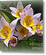 Lovely In White And Yellow - Tulips Metal Print