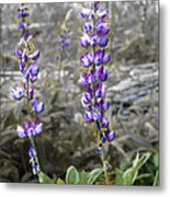 Lovely Lupines Metal Print