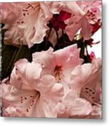 Lovely Pink Rhododendrons With Border Metal Print