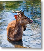 Lovely Time In Water.  Male Deer In The Pampelmousse Botanical Garden. Mauritius Metal Print by Jenny Rainbow