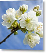 Lovely White Apple Blossoms On Branch Metal Print