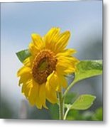 Lovely Yellow Sunflower Metal Print