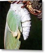 Luna Moth Actias Luna Newly Hatched Metal Print