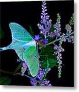 Luna Moth Astilby Flower Black Metal Print
