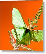 Luna Moth On Astilby Orange Back Ground Metal Print