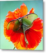 Luna Moth On Poppy Aqua Back Ground Metal Print