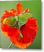 Luna Moth On Poppy Square Format Metal Print