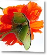 Luna Moth Poppy High Key Metal Print