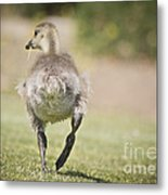 Lunch On The Run Metal Print