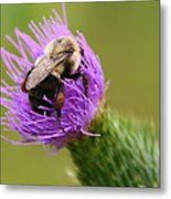 Lunching Atop A Thistle Metal Print