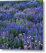 Lupine And Aster Metal Print