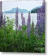 Lupine At Sorrento Metal Print