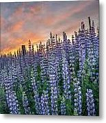 Lupine Dawn Metal Print