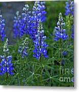 Lupine Family Metal Print