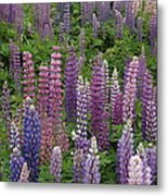 Lupine Mix Metal Print