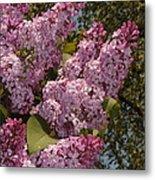 Lush Lilacs Metal Print