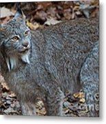 Lynx Eyes Metal Print