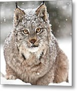 Lynx Stare Metal Print