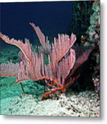 Lyre Gorgonian, Harp Coral Metal Print