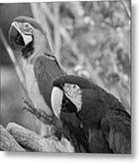 Macaws Of Color B W 14 Metal Print