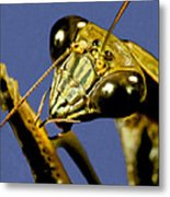 Macro Closeup Of The Chinese Praying Mantis Cleaning Himself After Eating A Live Cricket Metal Print