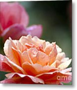 Macro Orange And Pink Floribunda Rose Metal Print