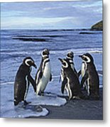 Magellanic Penguin Trio On Beach Metal Print