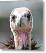 Maggee The Hooded Vulture Metal Print