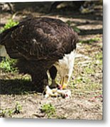 Magnificent Bald Eagle Breakfast Metal Print