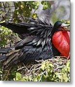 Magnificent Frigatebird Galapagos Metal Print