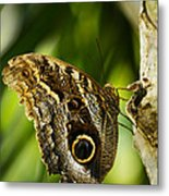 Magnificent Owl Butterfly Metal Print
