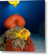 Magnificent Red Anemone With Anemone Fish Metal Print